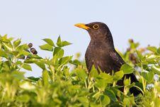 Free Eurasian Blackbird - Turdus Merula Royalty Free Stock Photography - 19283957