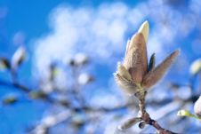 Free Fluffy Magnolia Flower And Bud Royalty Free Stock Images - 19283989