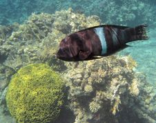 Free The Napoleonfish Royalty Free Stock Photos - 19284848