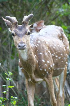 Free Spotted Deer On High Alert Stock Photos - 19285103