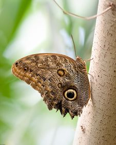 Free Giant Owl Butterfly Royalty Free Stock Photo - 19289765