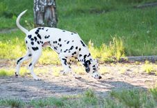 Free Dalmatian Stock Photos - 19289823