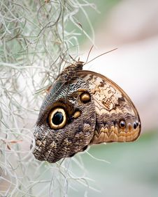 Free Giant Owl Butterfly Royalty Free Stock Photo - 19289855