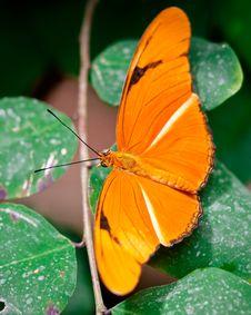 Free Orange Julia Butterfly Stock Image - 19289871