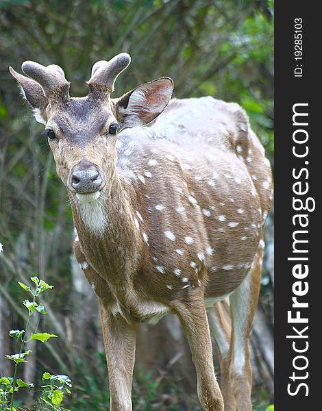 Spotted Deer on High alert