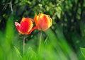 Free Two Tulips Stock Photos - 19294313