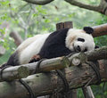Free Giant Panda Royalty Free Stock Photography - 19295687