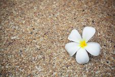 Free Plumeria Flower Stock Photo - 19290150