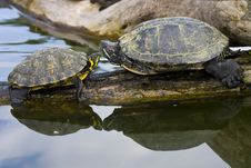 Free Red Eared Sliders Royalty Free Stock Images - 19290619