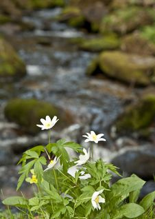 Free Anemone Flowers On Brook Bank Stock Photo - 19291110