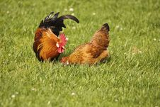 Free Poultry (domestic Fowl) Royalty Free Stock Photos - 19292448
