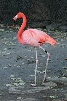 Free Flamingo Stock Images - 19293024