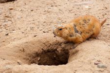 Free Prairie Dog Stock Photos - 19293483
