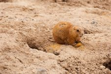 Free Prairie Dog Stock Photo - 19293520
