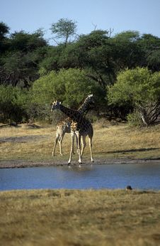 Free Adult African Giraffes Stock Photography - 19293762