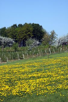 Fields With Dandelions
