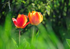 Free Two Tulips Stock Photos - 19294313