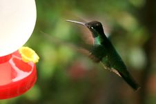 Free Hummer Approaching Feeder Royalty Free Stock Image - 19294816