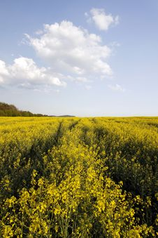 Free Rape Field Stock Photo - 19295050