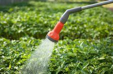 Watering Seedling Tomato
