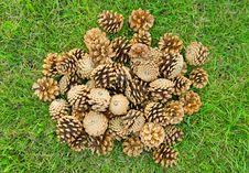 Free Fir Cones Royalty Free Stock Images - 19296529