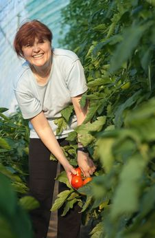 Free Women Picked Tomatoes Royalty Free Stock Image - 19296926