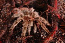 Free Spider Tarantula 3 Royalty Free Stock Image - 1931386