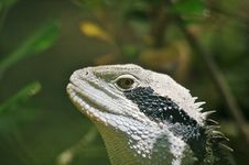Free Lizard Head Shot Royalty Free Stock Photos - 1933038
