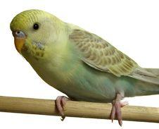Free Bird - Budgeriegar Stock Photos - 1935303