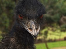 Free Bird - Emu Royalty Free Stock Photo - 1935305