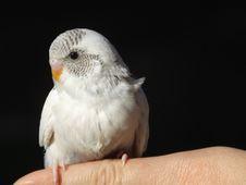 Free Bird - Budgeriegar Royalty Free Stock Image - 1935306