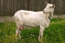 Free Goat Single Royalty Free Stock Image - 1935746