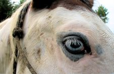 Free Blue Eyed Medicine Hat Horse Closeup Stock Image - 1936071