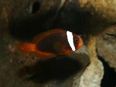 Free Orange Clown Fish Nemo Stock Photography - 1939272
