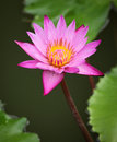 Free Pink Water Lily Stock Photos - 19301293