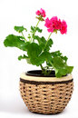 Free Potted Flower Stock Photography - 19302722