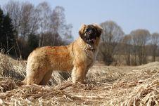 Free Hirsute Dog Stock Photography - 19301072