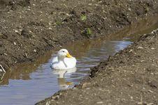 Free White Ducks Royalty Free Stock Image - 19301536