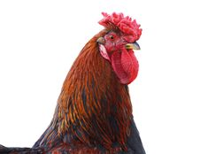 Free Rooster Head Royalty Free Stock Photography - 19301537