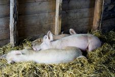 Pigs Sleeping In Barn Stock Photos