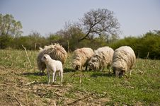 Free Grazing Sheep Royalty Free Stock Photography - 19301727