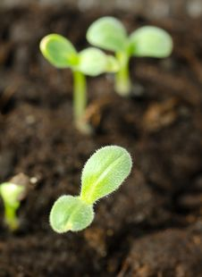 Free Cucumber Sprouts In Ground Stock Photo - 19301800