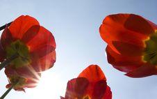 Free Tulips Stock Photos - 19302843