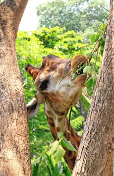 Free Giraffe Eating Green Leaves From Tree Royalty Free Stock Photos - 19302868