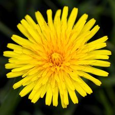 Free Taraxacum Officinale Stock Image - 19302921