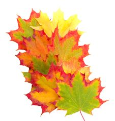 Free Autumn Maple Leaves Royalty Free Stock Photo - 19303185