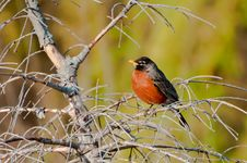 American Robin Sits On A Bench Stock Image