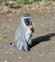 Free Vervet Monkey Stock Photography - 19304082