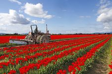 Free Red Tulips Fields With Farmer On The Tractor Stock Image - 19305131