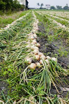 Free Vegetable Onion Harvesting Royalty Free Stock Photo - 19305635